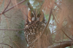 Long-eared Owl. In a tree stock photography