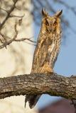 Long-eared Owl in a tree (Asio Otus) Stock Image