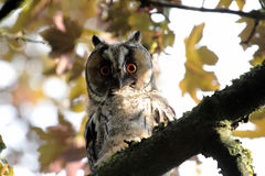 Long eared owl on a tree branch Stock Photos