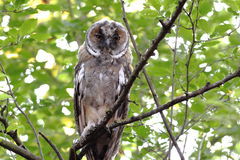 Long eared owl on a tree Stock Images