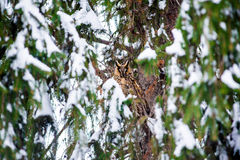 Long-eared owl in the tree stock photos