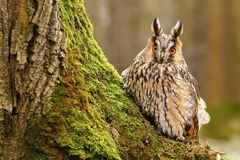 Long eared owl by tree trunk Stock Photos