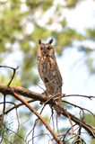 Long-eared owl. Ukraine Royalty Free Stock Image