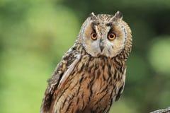 Long-eared owl. The upper body of gazing long-eared owl Stock Photo