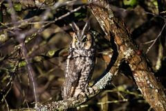 Long eared owl. And well Camouflage Stock Photo