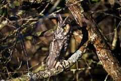 Long eared owl. And well Camouflage Royalty Free Stock Photography