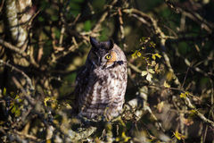 Long eared owl Royalty Free Stock Photography