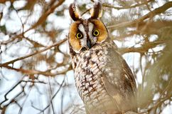 Long-eared Owl in the wild. In Ontario, Canada stock images