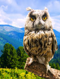 Long-eared Owl in wildness. Area Stock Photos