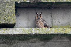 A long eared owl in winter plumage sits on a road bridge and watching me. Royalty Free Stock Image