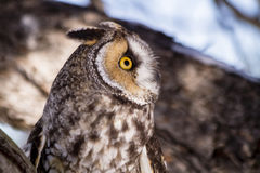 Long Eared Owl in Winter Setting Royalty Free Stock Image