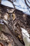 Long Eared Owl in Winter Setting Stock Photo