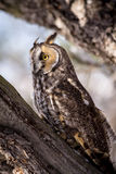 Long Eared Owl in Winter Setting Royalty Free Stock Photos