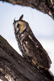 Long Eared Owl in Winter Setting Stock Photos