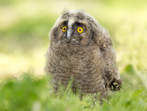 Long-eared owl. Young long-eared owl standing on grass and looking ahead Stock Photography