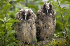 Long-eared owls Stock Image