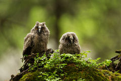 Long Eared Owls Stock Image
