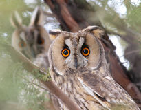 Long-eared Owls (Asio otus) Stock Photos