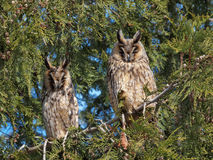 Long-eared owls (Asio otus). Long-eared owls in a tree Stock Images