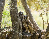 Long-eared Owls Stock Photography