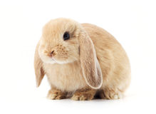 Long eared rabbit. Portrait of long eared rabbit isolated on white background Stock Images
