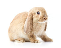 Long eared rabbit. Side portrait of long eared rabbit with white background Royalty Free Stock Photos