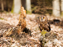 Long-eares owl siting on stump in forest - Asio otus. Long-eared owl resting on stump - Strix otus stock photos