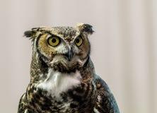Long Earred Owl Asio Otus portrait Stock Photo
