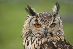 Long earred Owl Royalty Free Stock Photo