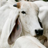 The long ears of cattle breeds Thailand on field Royalty Free Stock Photography