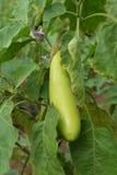 Long eggplant green Stock Photo