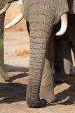 Long elephant trunk Stock Photography