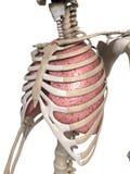 Long en thorax Royalty-vrije Stock Foto's