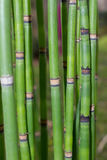 Long equisetum stalk. Green wallpaper with bamboo Royalty Free Stock Photography