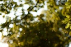 Long essaim de moustique de jambes de papa en Angleterre image stock
