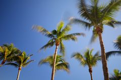 Long exposure blurry palm trees in the wind on a blue sky. Motion green Stock Photography
