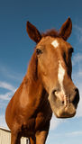 Long face Royalty Free Stock Images