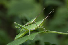 Free Long-faced Grasshopper In Thailand. Royalty Free Stock Photography - 77059247