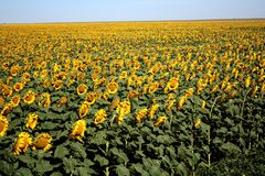 Long field. Of sunflowers in western Kansas royalty free stock image