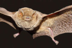 Long fingered bat stock image