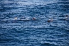 Long-finned Pilot Whales Royalty Free Stock Image