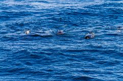 Long-Finned Pilot Whales in the Southern Atlantic Ocean. A group of Long-Finned Pilot Whales -Globicephala melas- swimming in the South Atlantic Ocean, near the royalty free stock photos