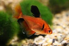 Long Finned Serpae Tetra Barb Hyphessobrycon eques aquarium fish Royalty Free Stock Photo