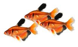Long Finned Serpae Tetra Barb Hyphessobrycon eques aquarium fish. Fish Royalty Free Stock Images