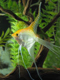 Long Finned Yellow Angel Fish in an Aquarium Royalty Free Stock Images