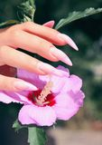 Long French nails with white manicure on a woman`s hand. With pink accessory on a nature background stock photos