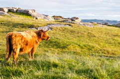 Long fur galloway cattle Royalty Free Stock Photos