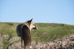 Long Gaze. Newfoundland Fox in Profile while Staring into Rising Sun Stock Images