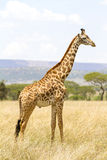 Long giraffe standing at the savannah in Serengeti Stock Images