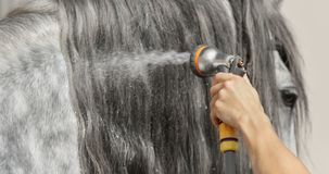 Long glitter mane of gray horse is washed with water from hose. Royalty Free Stock Image